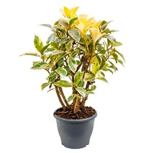 Ficus petit tineke kamerplant