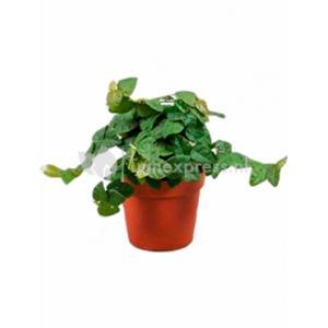 Ficus repens green sunny XS hangplant