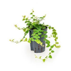 Ficus repens green sunny hydrocultuur hangplant
