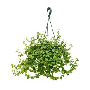 Ficus repens green sunny hangplant