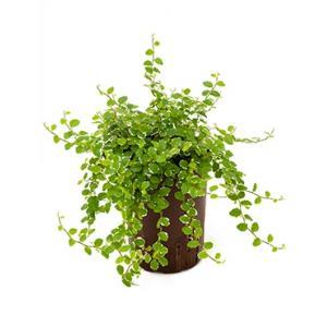 Ficus repens white sunny hydrocultuur hangplant