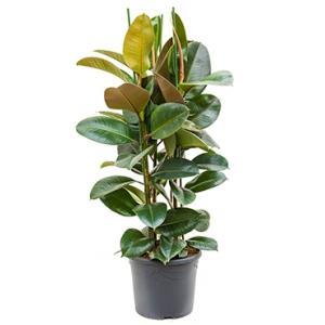 Ficus robusta L3 kamerplant