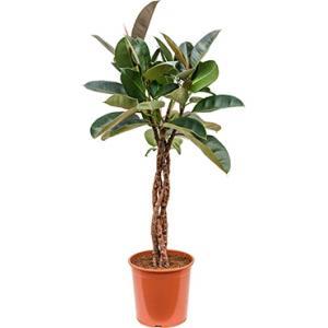 Ficus robusta gevlochten M kamerplant