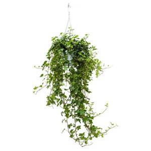 Hedera helix pittsburgh S hangplant