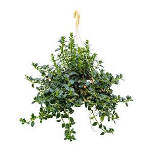 Hypocirta glabra hangplant