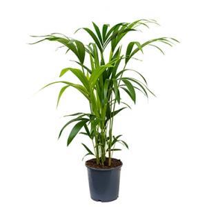 Dagaanbieding - Kentia Palm howea forsteriana 5pp M kamerplant dagelijkse aanbiedingen