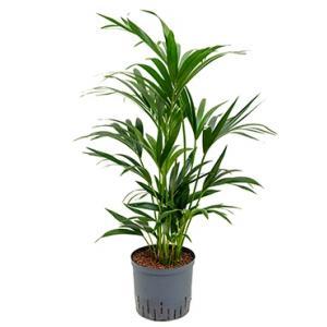 Kentia palm forsteriana perth hydrocultuur plant