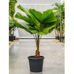 Licuala Palm grandis waaierpalm kamerplant