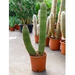 Marshallocereus cactus thurberii L kamerplant