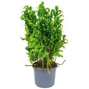 Microsorum ferox varen kamerplant