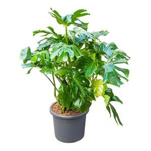 Monstera deliciosa 4XL gatenplant kamerplant