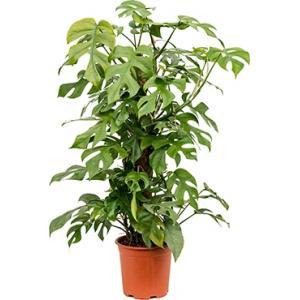 Monstera minima S gatenplant kamerplant