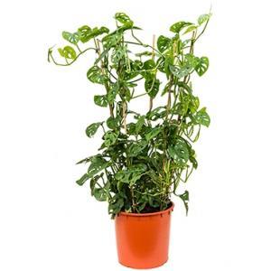 Monstera obliqua L gatenplant kamerplant