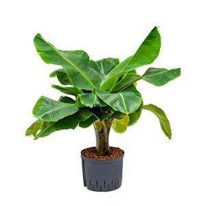 Bananenplant Musa dwarf cavendish hydrocultuur plant