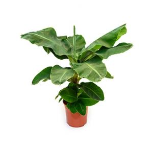 Bananenplant musa tropicana kamerplant