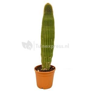 Neobuxbaumia cactus polylopha L kamerplant