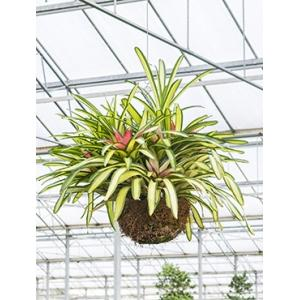 Neoregelia carolinae tricolor hangplant