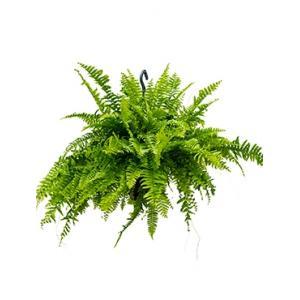 Nephrolepis boston krulvaren hangplant