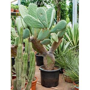 Opuntia cactus indica L2 kamerplant