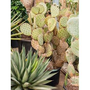 Opuntia cactus indica XL kamerplant