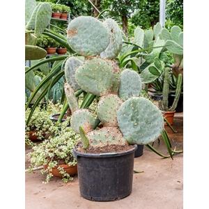 Opuntia cactus robusta L kamerplant