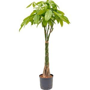 Pachira aquatica 120 Geldboom hydrocultuur plant