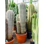 Pachycereus cactus pringlei 3pp kamerplant