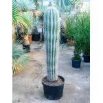 Pachycereus cactus pringlei L kamerplant