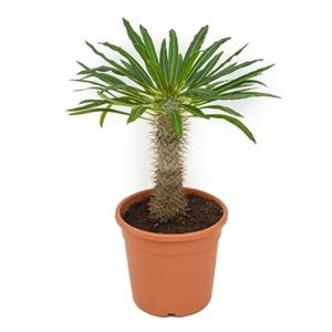 Pachypodium Palm lamerei M kamerplant