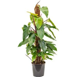Philodendron emerald S kamerplant