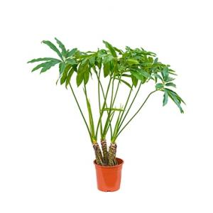 Philodendron fun bun kamerplant