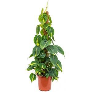 Philodendron grand brasil mosstok kamerplant