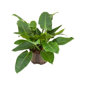 Philodendron imperial green L hydrocultuur plant