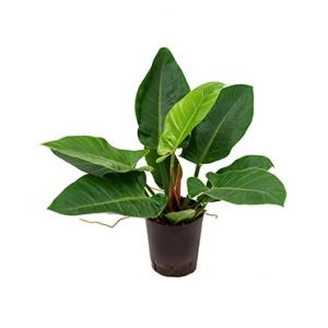 Philodendron imperial green S hydrocultuur plant