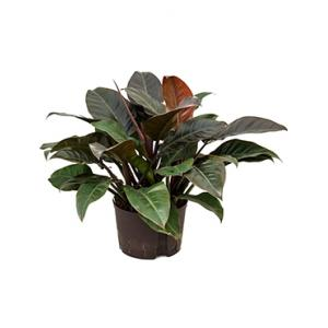 Philodendron imperial red XL hydrocultuur plant