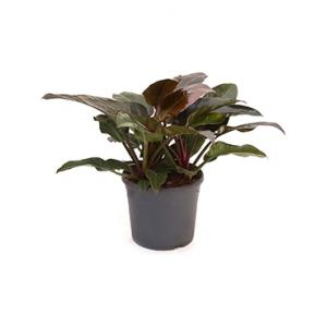 Philodendron imperial red XL kamerplant