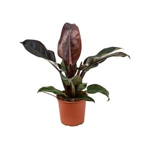 Philodendron imperial red S kamerplant