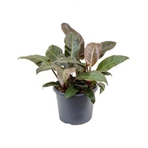 Philodendron imperial red L kamerplant