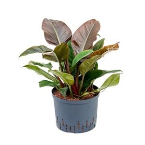 Dagaanbieding - Philodendron imperial red L hydrocultuur plant dagelijkse aanbiedingen