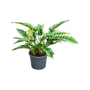 Philodendron narrow L kamerplant