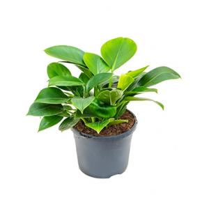 Philodendron onyx S kamerplant