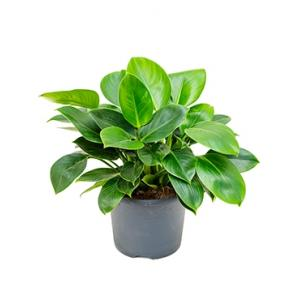 Philodendron onyx M kamerplant