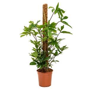 Philodendron pedatum mosstok 120 kamerplant