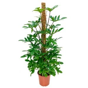 Philodendron pedatum mosstok 150 kamerplant