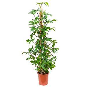 Philodendron pedatum pyramis kamerplant