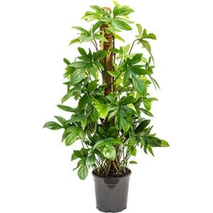 Philodendron pedatum S kamerplant