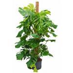 Monstera pertusem 150 gatenplant hydrocultuur plant
