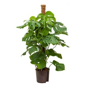 Monstera pertusem 120 gatenplant hydrocultuur plant