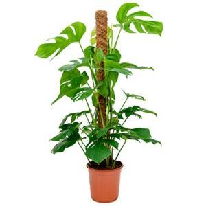 Monstera pertusem mosstok 120 gatenplant kamerplant