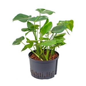 Monstera pertusem XXL gatenplant hydrocultuur plant